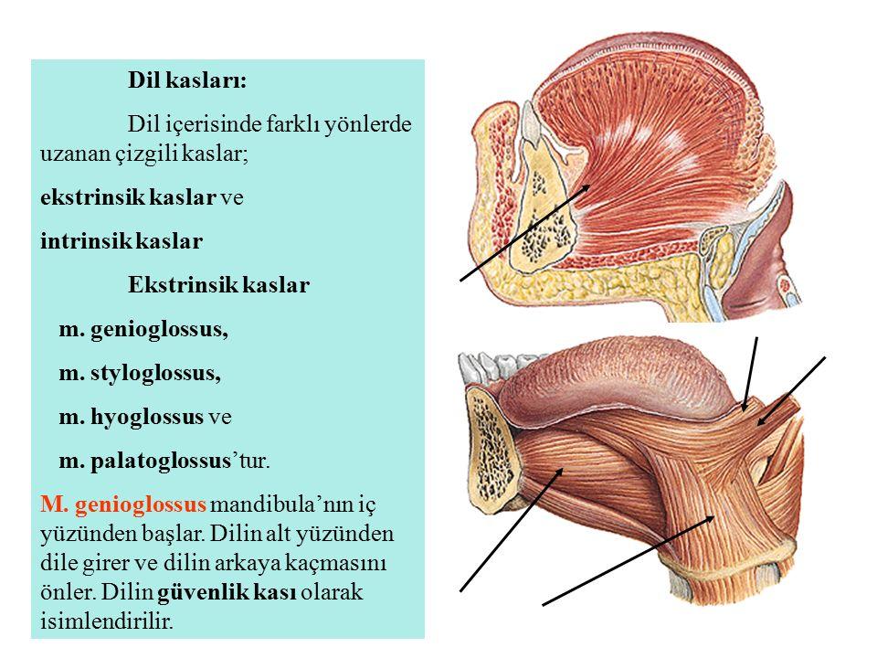 Dil kasları: Dil içerisinde farklı yönlerde uzanan çizgili kaslar; ekstrinsik kaslar ve intrinsik kaslar Ekstrinsik kaslar m. genioglossus, m. stylogl