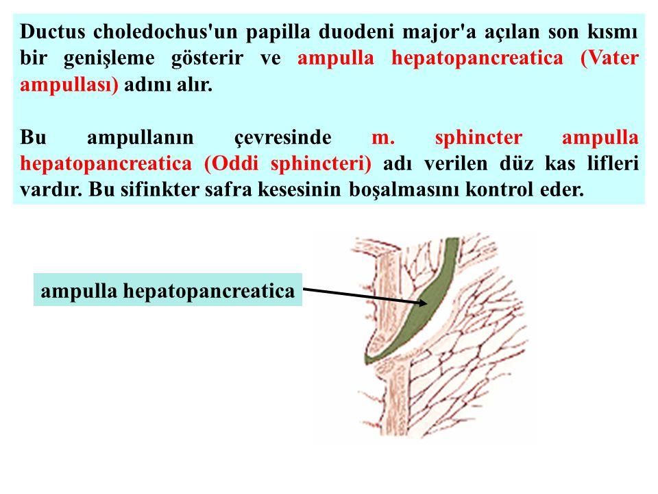 Ductus choledochus'un papilla duodeni major'a açılan son kısmı bir genişleme gösterir ve ampulla hepatopancreatica (Vater ampullası) adını alır. Bu am