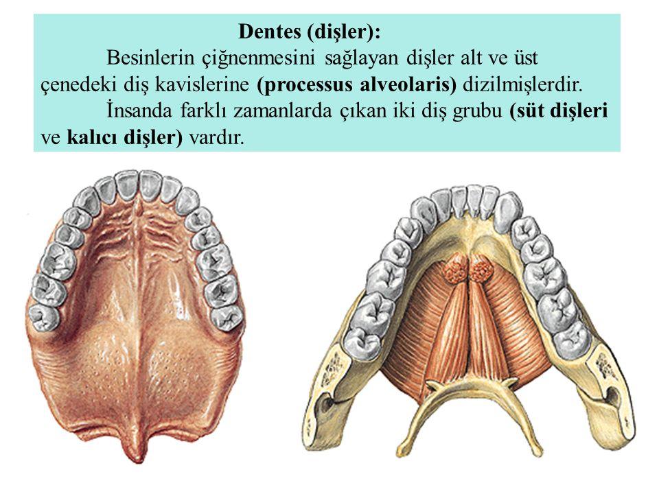 Dentes (dişler): Besinlerin çiğnenmesini sağlayan dişler alt ve üst çenedeki diş kavislerine (processus alveolaris) dizilmişlerdir. İnsanda farklı zam