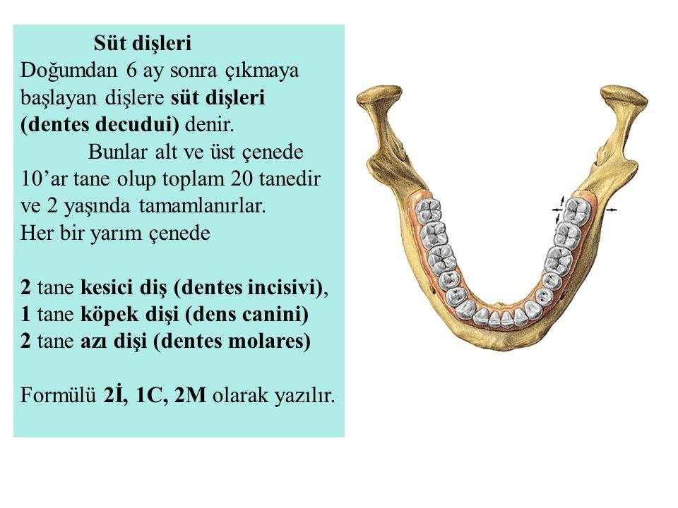 Süt dişleri Doğumdan 6 ay sonra çıkmaya başlayan dişlere süt dişleri (dentes decudui) denir. Bunlar alt ve üst çenede 10'ar tane olup toplam 20 tanedi