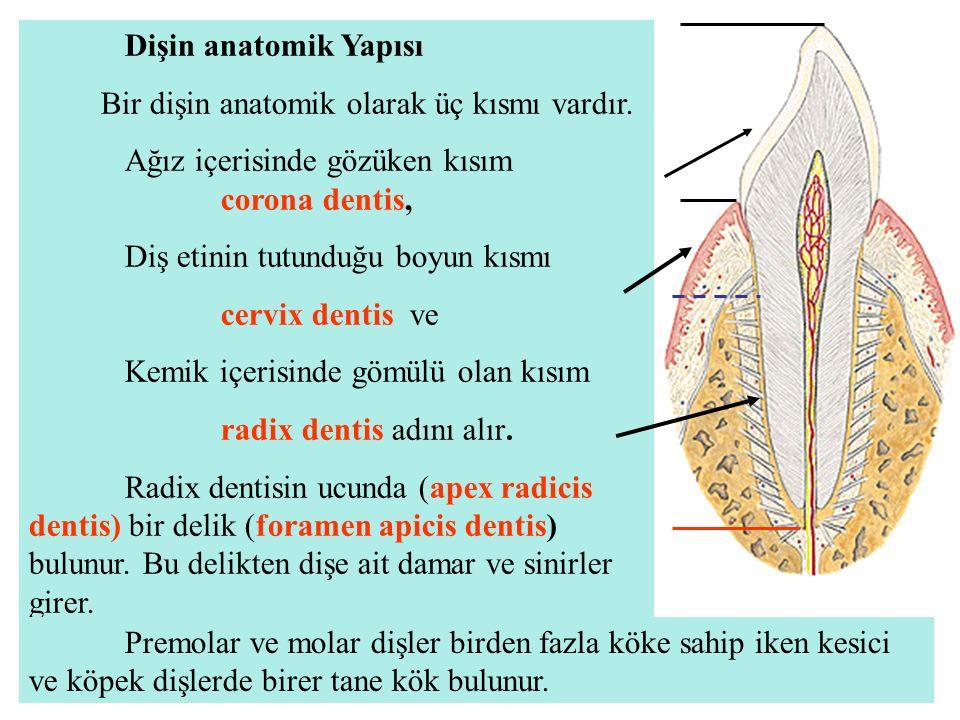 Dişin anatomik Yapısı Bir dişin anatomik olarak üç kısmı vardır. Ağız içerisinde gözüken kısım corona dentis, Diş etinin tutunduğu boyun kısmı cervix