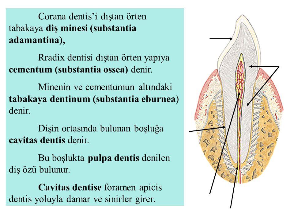Corana dentis'i dıştan örten tabakaya diş minesi (substantia adamantina), Rradix dentisi dıştan örten yapıya cementum (substantia ossea) denir. Mineni