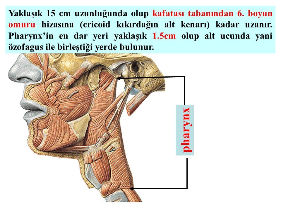 pharynx Yaklaşık 15 cm uzunluğunda olup kafatası tabanından 6. boyun omuru hizasına (cricoid kıkırdağın alt kenarı) kadar uzanır. Pharynx'in en dar ye