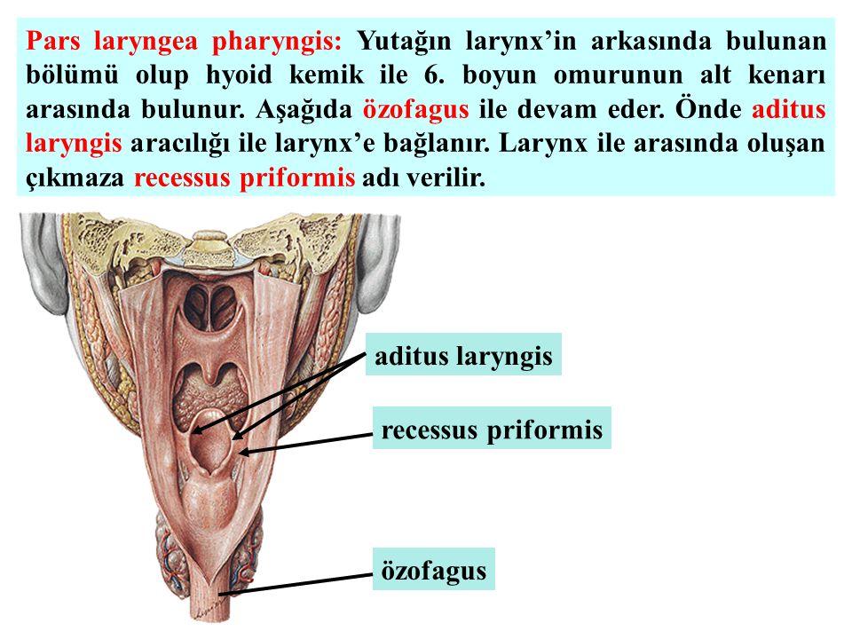 Pars laryngea pharyngis: Yutağın larynx'in arkasında bulunan bölümü olup hyoid kemik ile 6. boyun omurunun alt kenarı arasında bulunur. Aşağıda özofag