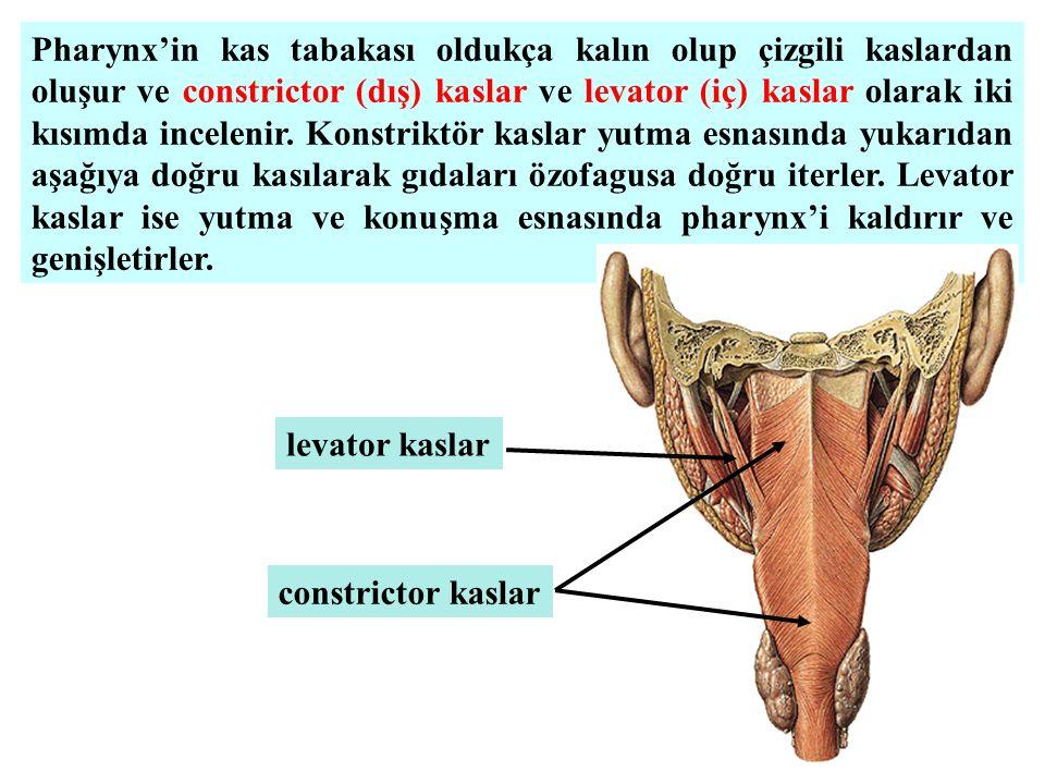 Pharynx'in kas tabakası oldukça kalın olup çizgili kaslardan oluşur ve constrictor (dış) kaslar ve levator (iç) kaslar olarak iki kısımda incelenir. K