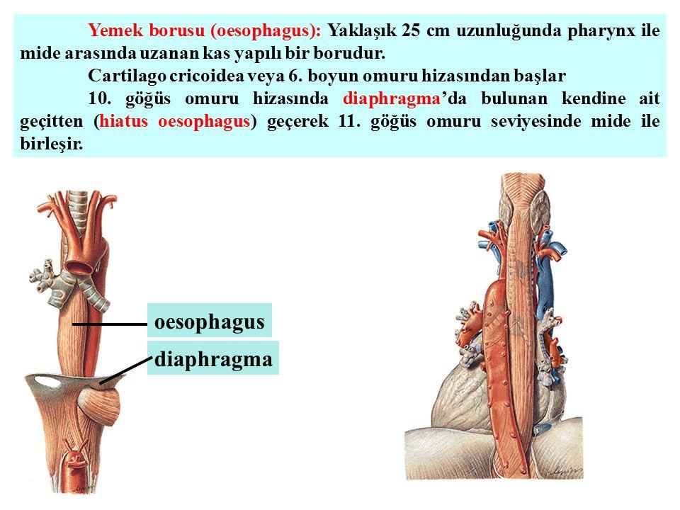 Yemek borusu (oesophagus): Yaklaşık 25 cm uzunluğunda pharynx ile mide arasında uzanan kas yapılı bir borudur. Cartilago cricoidea veya 6. boyun omuru