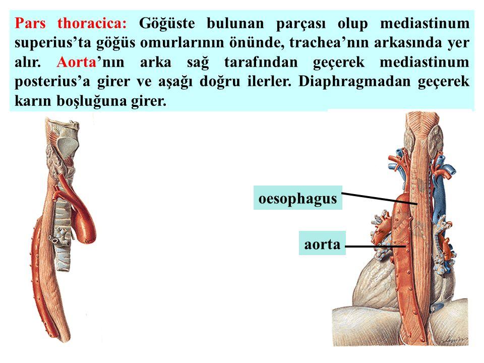 Pars thoracica: Göğüste bulunan parçası olup mediastinum superius'ta göğüs omurlarının önünde, trachea'nın arkasında yer alır. Aorta'nın arka sağ tara