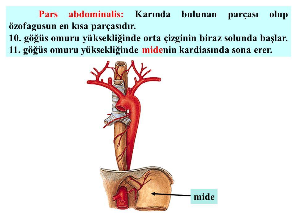 Pars abdominalis: Karında bulunan parçası olup özofagusun en kısa parçasıdır. 10. göğüs omuru yüksekliğinde orta çizginin biraz solunda başlar. 11. gö