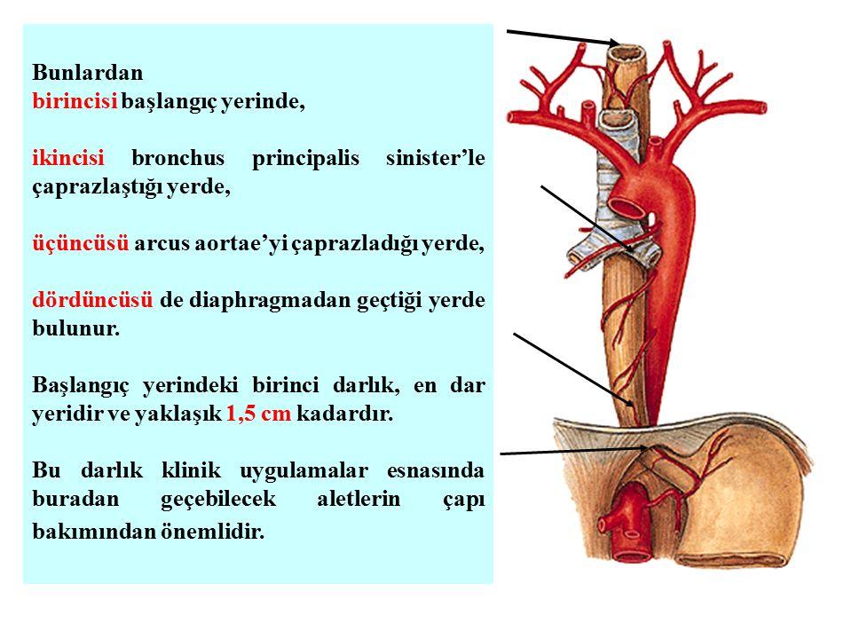 Bunlardan birincisi başlangıç yerinde, ikincisi bronchus principalis sinister'le çaprazlaştığı yerde, üçüncüsü arcus aortae'yi çaprazladığı yerde, dör