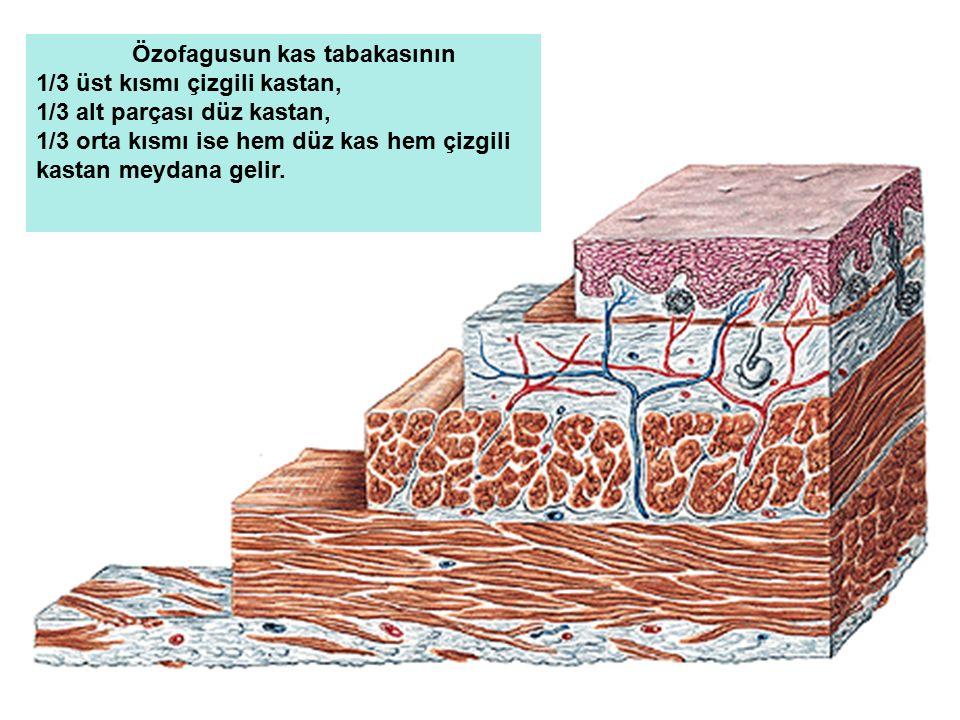 Özofagusun kas tabakasının 1/3 üst kısmı çizgili kastan, 1/3 alt parçası düz kastan, 1/3 orta kısmı ise hem düz kas hem çizgili kastan meydana gelir.