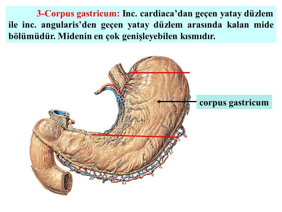 3-Corpus gastricum: Inc. cardiaca'dan geçen yatay düzlem ile inc. angularis'den geçen yatay düzlem arasında kalan mide bölümüdür. Midenin en çok geniş