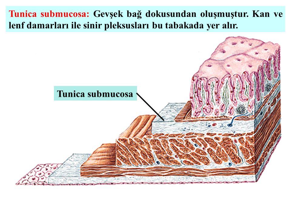 Tunica submucosa: Gevşek bağ dokusundan oluşmuştur. Kan ve lenf damarları ile sinir pleksusları bu tabakada yer alır. Tunica submucosa
