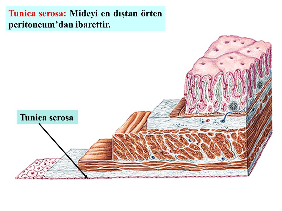 Tunica serosa: Mideyi en dıştan örten peritoneum'dan ibarettir. Tunica serosa