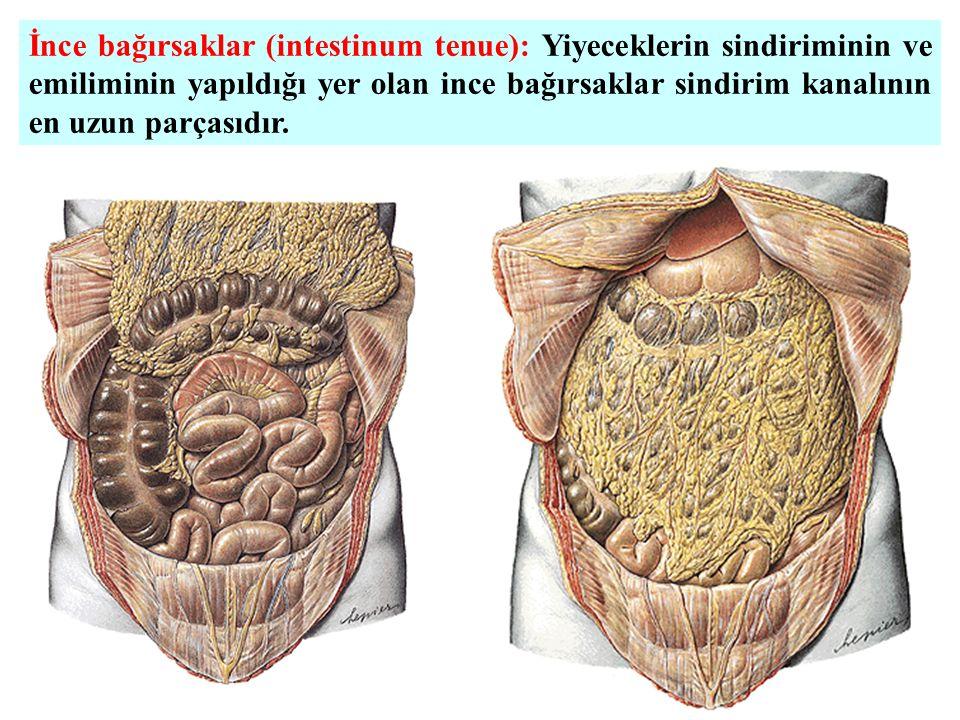 İnce bağırsaklar (intestinum tenue): Yiyeceklerin sindiriminin ve emiliminin yapıldığı yer olan ince bağırsaklar sindirim kanalının en uzun parçasıdır