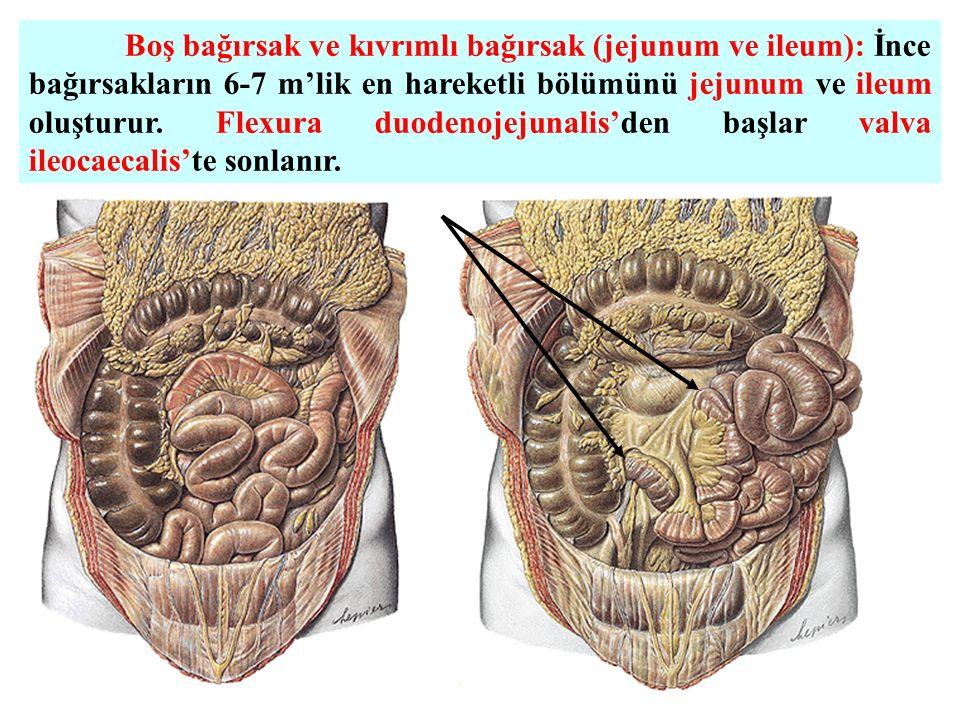 Boş bağırsak ve kıvrımlı bağırsak (jejunum ve ileum): İnce bağırsakların 6-7 m'lik en hareketli bölümünü jejunum ve ileum oluşturur. Flexura duodenoje