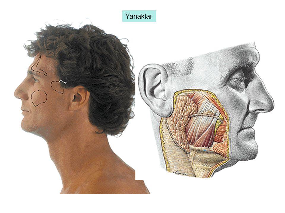Sulcus sagittalis dexter in ön yarısında safra kesesi (vesica fellae) bulunur.