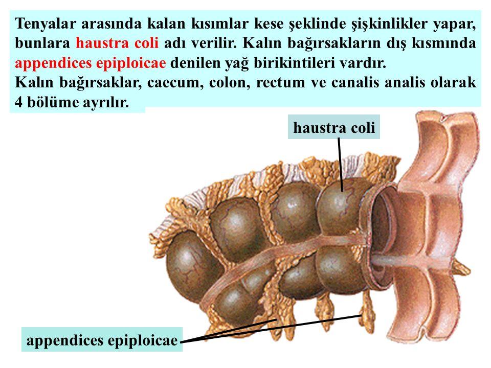 Tenyalar arasında kalan kısımlar kese şeklinde şişkinlikler yapar, bunlara haustra coli adı verilir. Kalın bağırsakların dış kısmında appendices epipl