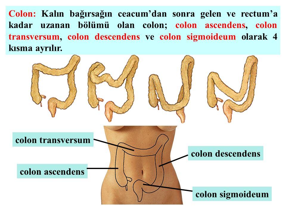 colon ascendens colon transversum colon descendens colon sigmoideum Colon: Kalın bağırsağın ceacum'dan sonra gelen ve rectum'a kadar uzanan bölümü ola