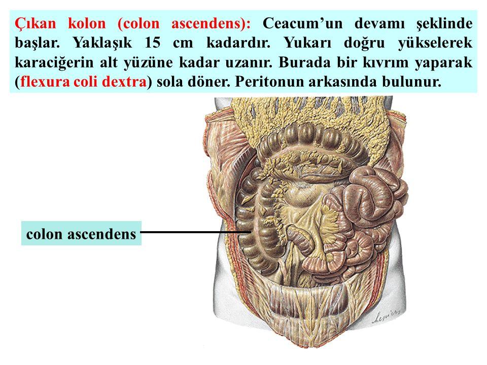 Çıkan kolon (colon ascendens): Ceacum'un devamı şeklinde başlar. Yaklaşık 15 cm kadardır. Yukarı doğru yükselerek karaciğerin alt yüzüne kadar uzanır.
