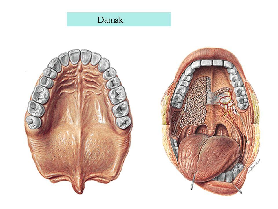 Gingivae (dişeti): Ağız içerisini döşeyen mukozanın alt ve üst çenedeki diş kavislerini (proc.