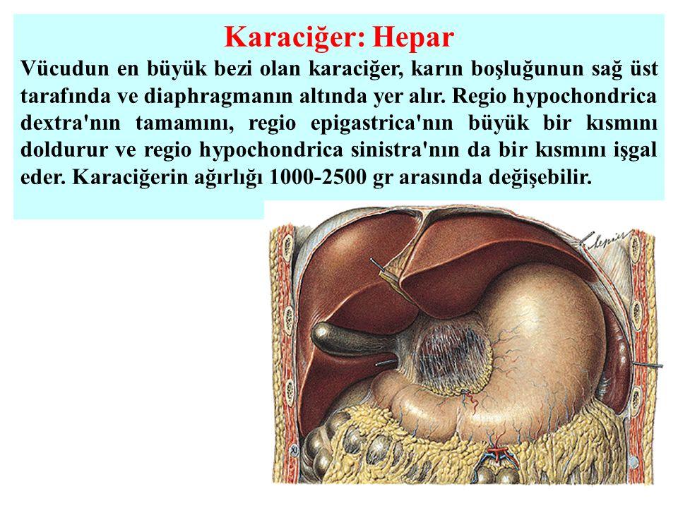 Karaciğer: Hepar Vücudun en büyük bezi olan karaciğer, karın boşluğunun sağ üst tarafında ve diaphragmanın altında yer alır. Regio hypochondrica dextr