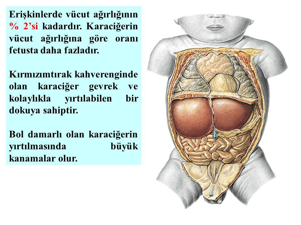 Erişkinlerde vücut ağırlığının % 2'si kadardır. Karaciğerin vücut ağırlığına göre oranı fetusta daha fazladır. Kırmızımtırak kahverenginde olan karaci