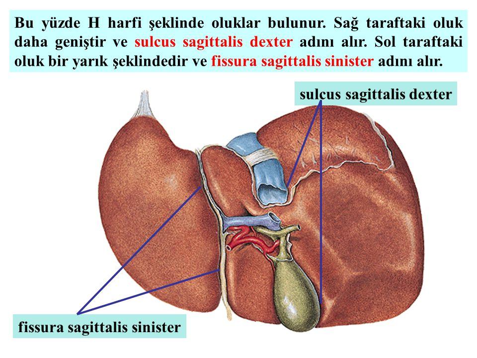 Bu yüzde H harfi şeklinde oluklar bulunur. Sağ taraftaki oluk daha geniştir ve sulcus sagittalis dexter adını alır. Sol taraftaki oluk bir yarık şekli