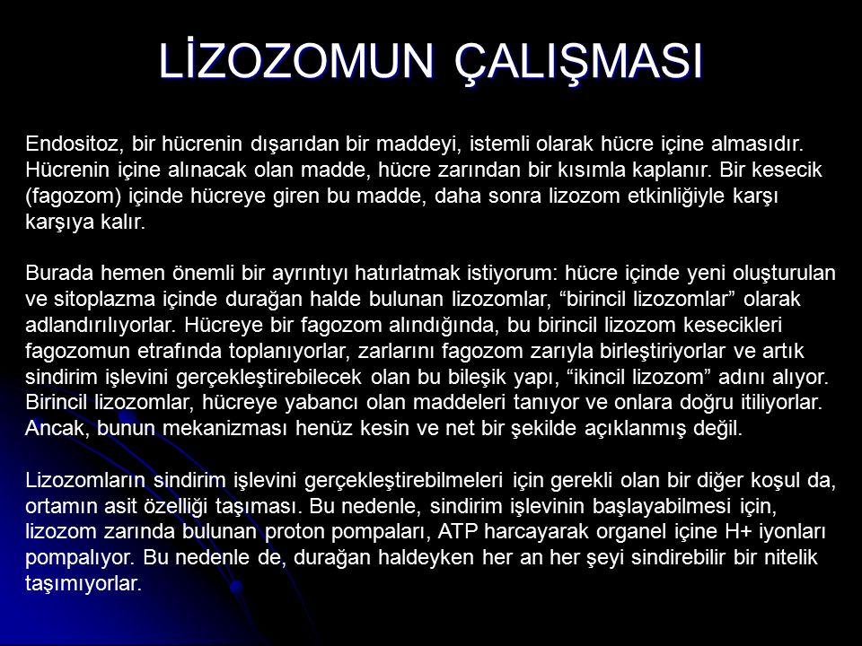 PARMAK OLUŞUMU Lizozomun hücredeki görevi hücre içine alınan kimi molekülleri parçalamaktır.