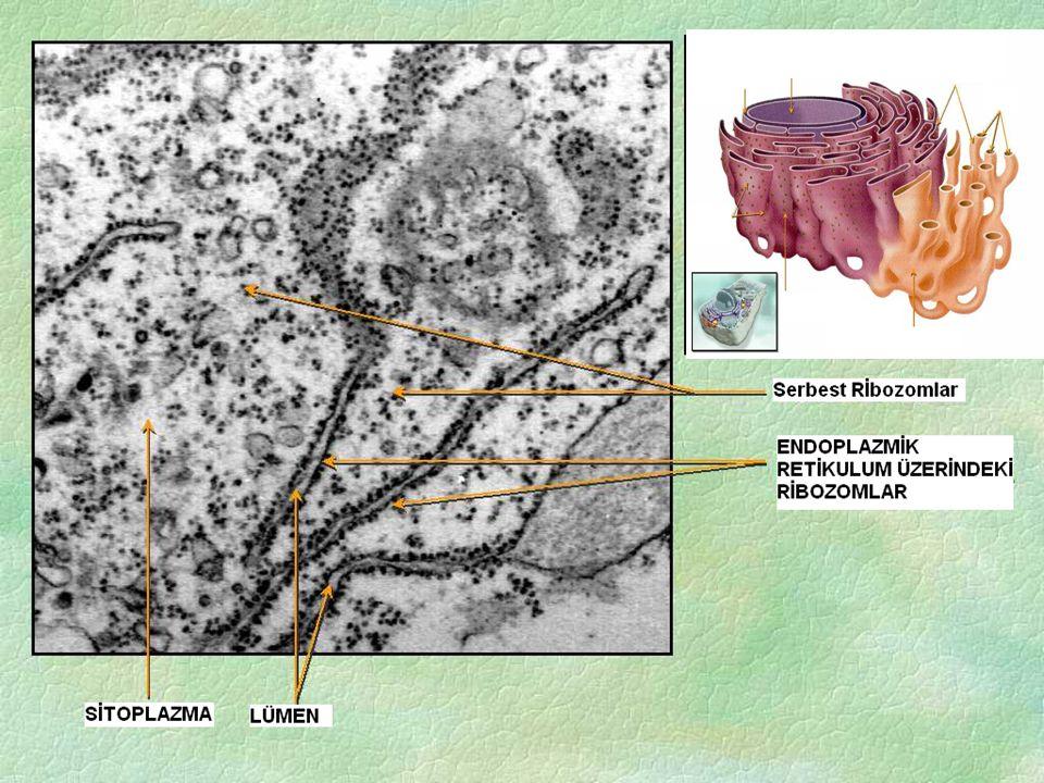 ÖZELLİKLERİ Hücre zarı ile çekirdek zarı arasında uzanan kanalcıklardan meydana gelmiştir.