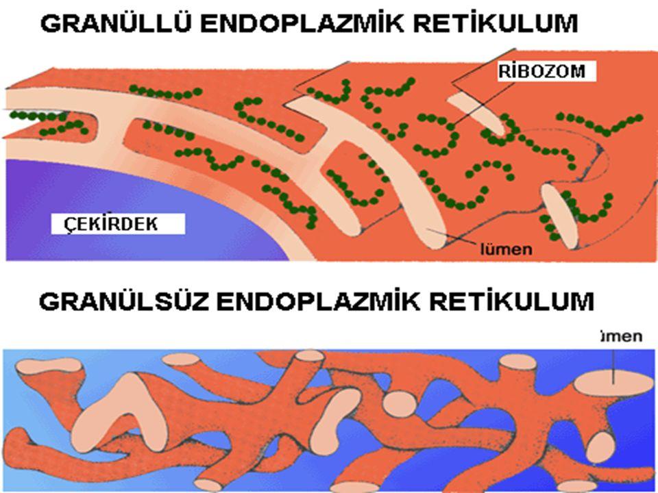 Hücrelerde iki çeşit ER vardır.GRANÜLLÜ ER: Zarları üzerinde ribozom bulunur.