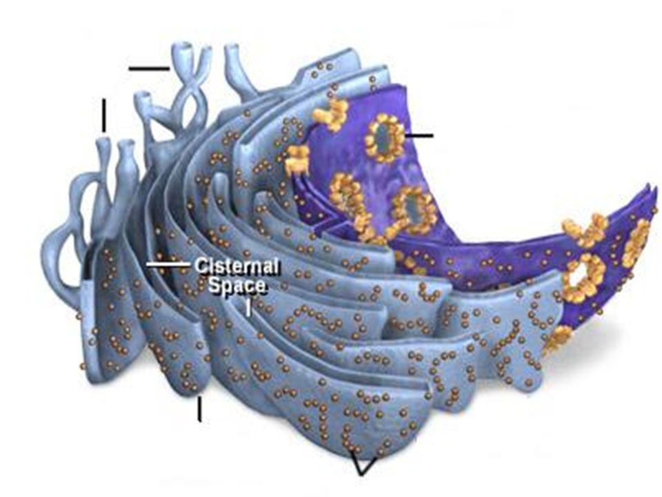ER nin GÖREVLERİ Sitoplazma ile birlikte hücreye desteklik sağlar.