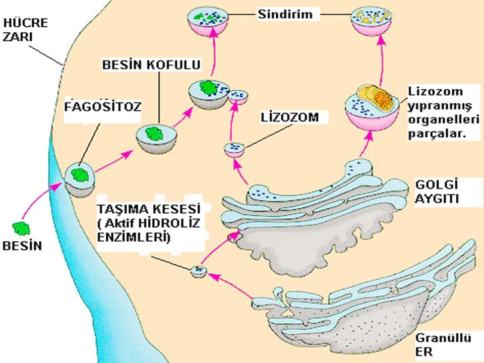 ÖZELLİKLERİ  Golgi cisimciğinden meydana gelirler.