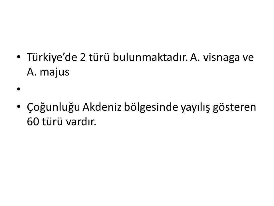 Türkiye'de 2 türü bulunmaktadır. A. visnaga ve A. majus Çoğunluğu Akdeniz bölgesinde yayılış gösteren 60 türü vardır.