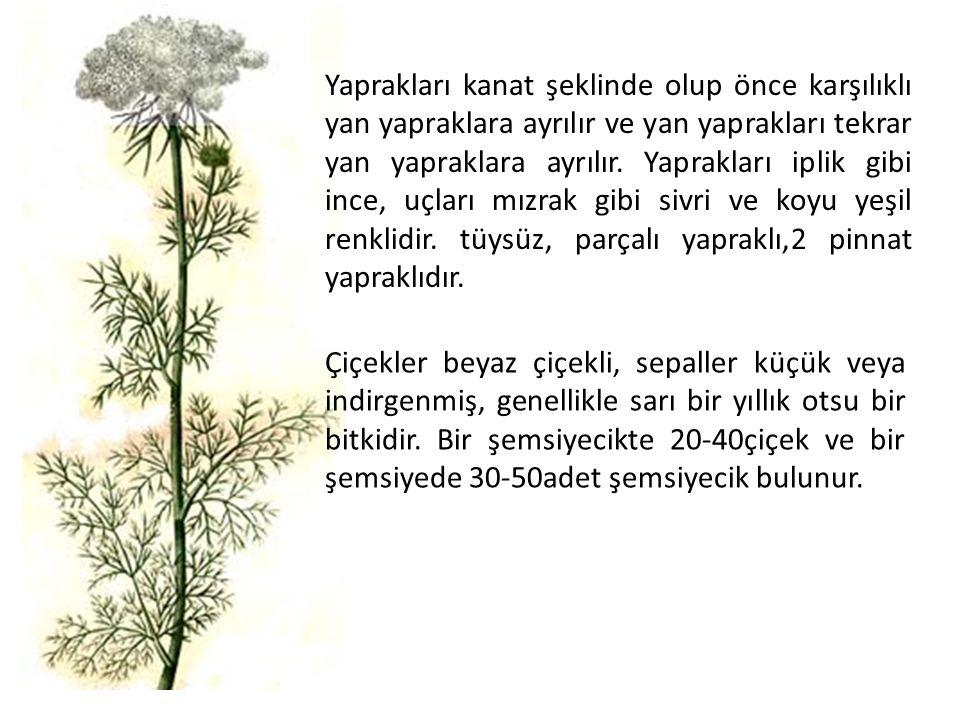 KULLANILAN KISIMLARI: Yaprakları çiğ olarak ağızda çiğnenir.