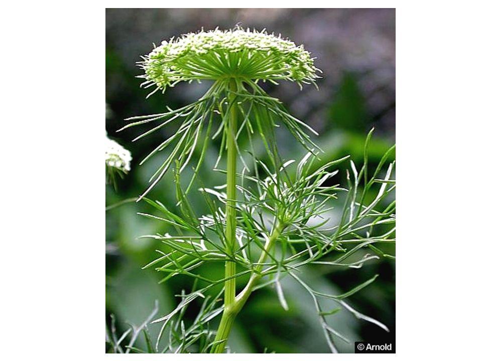 Toplama ve Saklama: Bitki meyvesi olgunlaştığı zaman, pedinkulundan kesilerek toplanır.