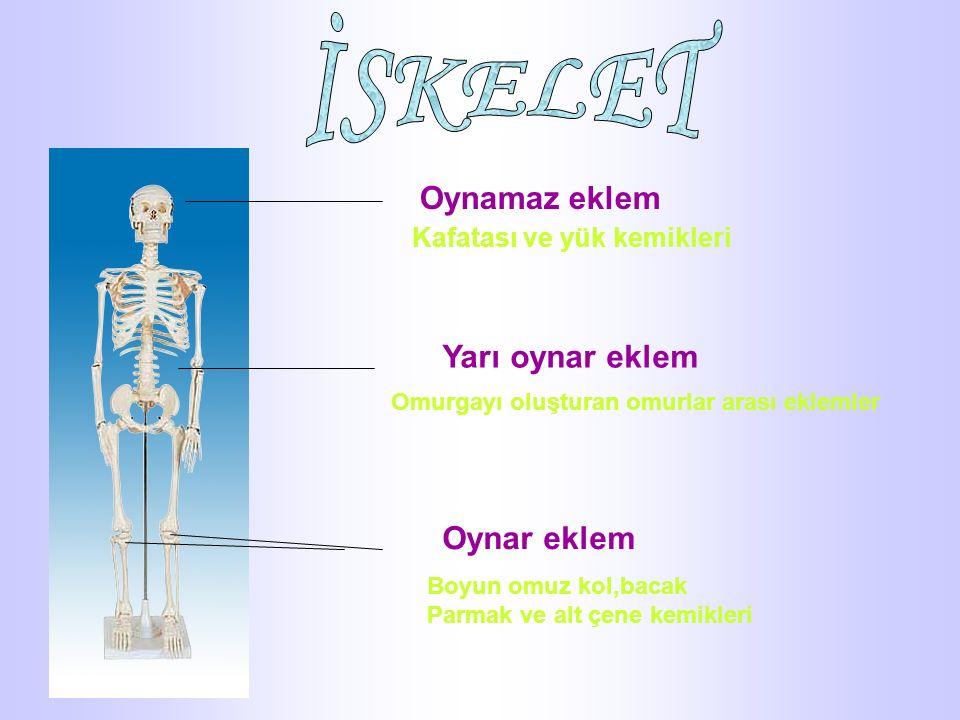 Oynamaz eklem Kafatası ve yük kemikleri Yarı oynar eklem Omurgayı oluşturan omurlar arası eklemler Oynar eklem Boyun omuz kol,bacak Parmak ve alt çene kemikleri