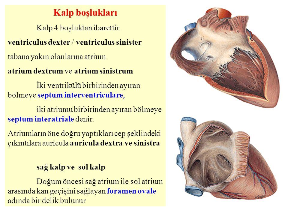 Kalp boşlukları Kalp 4 boşluktan ibarettir.