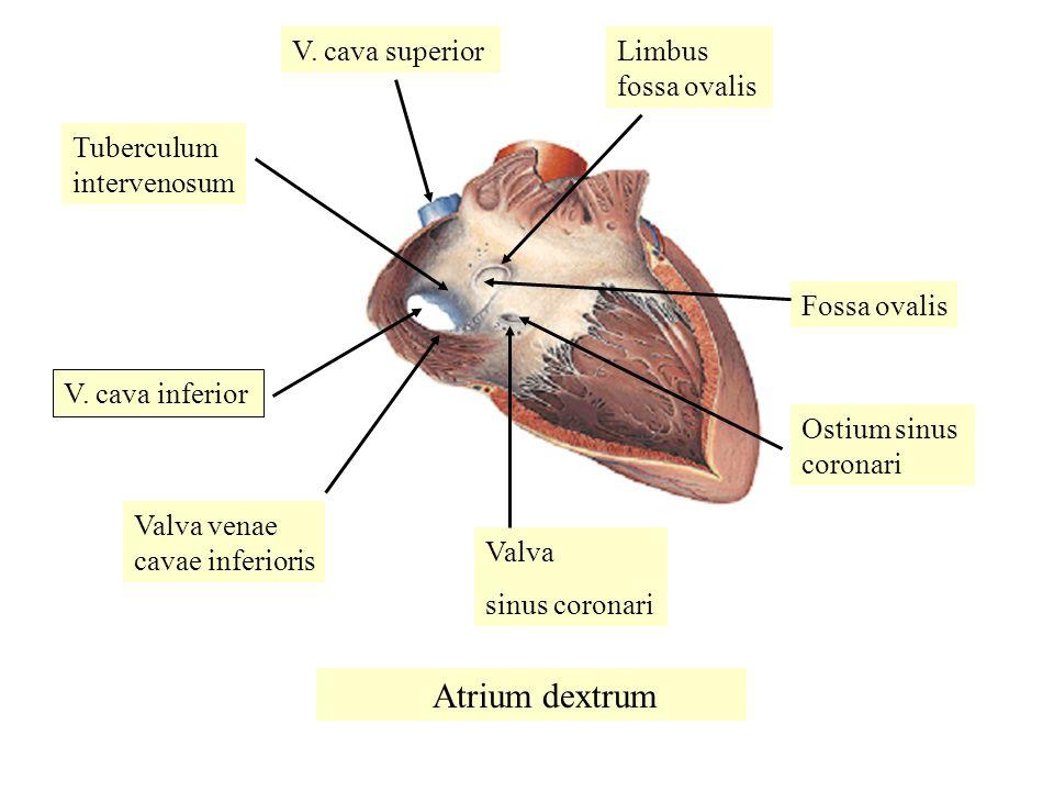 Valva sinus coronari V.cava superior Tuberculum intervenosum V.