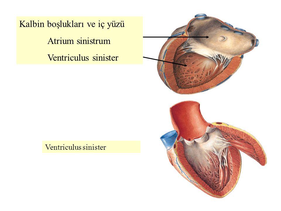 Kalbin boşlukları ve iç yüzü Atrium sinistrum Ventriculus sinister