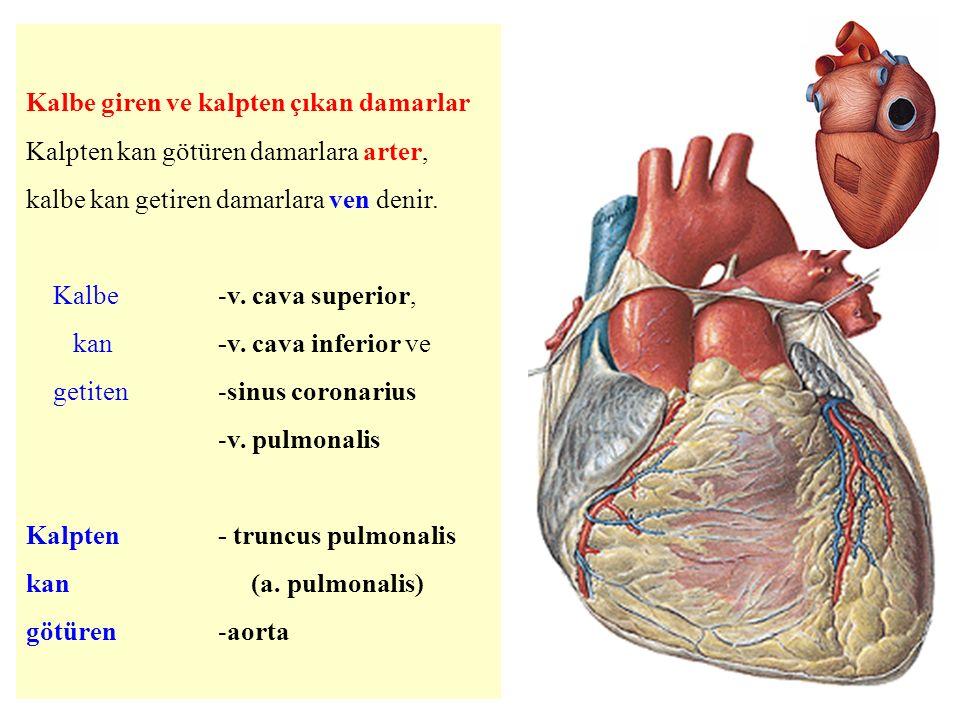 Kalbe giren ve kalpten çıkan damarlar Kalpten kan götüren damarlara arter, kalbe kan getiren damarlara ven denir.