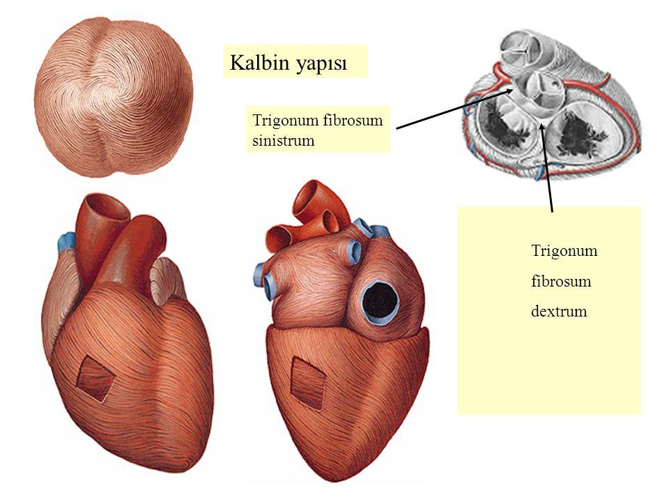Kalbin yapısı Trigonum fibrosum dextrum Trigonum fibrosum sinistrum