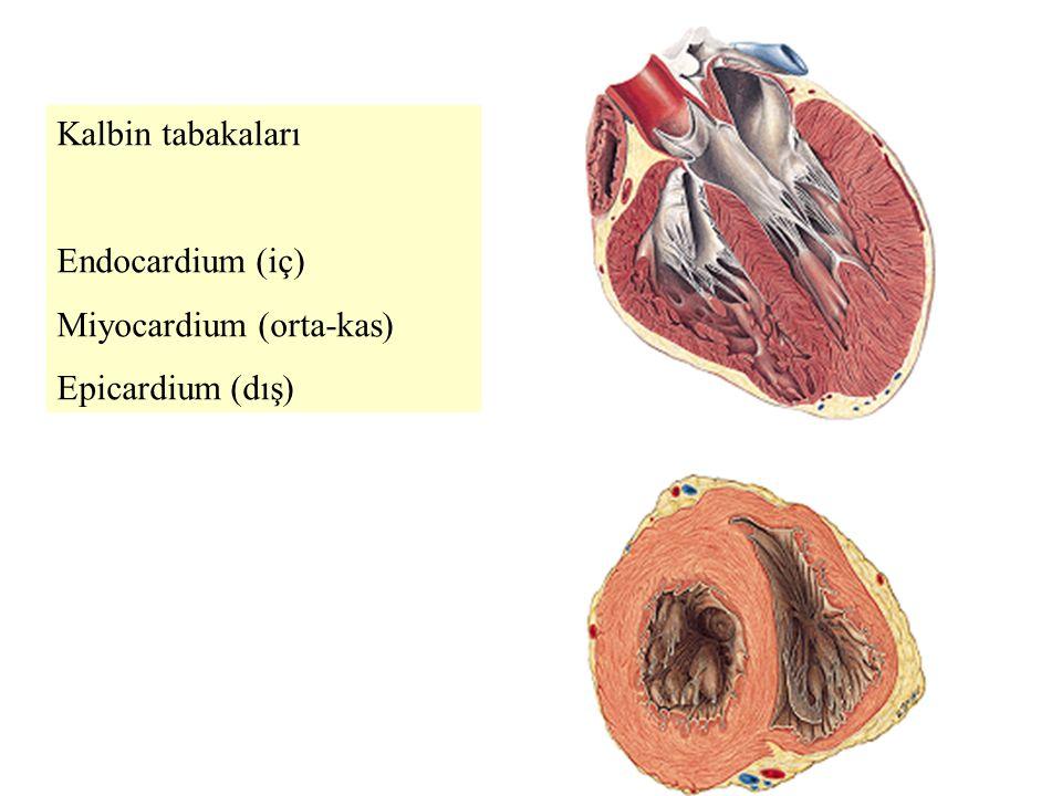 Kalbin tabakaları Endocardium (iç) Miyocardium (orta-kas) Epicardium (dış)