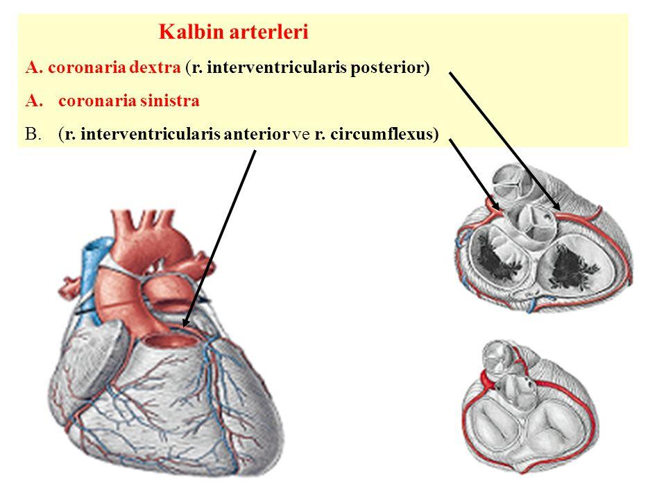Kalbin arterleri A.coronaria dextra (r. interventricularis posterior) A.coronaria sinistra B.(r.