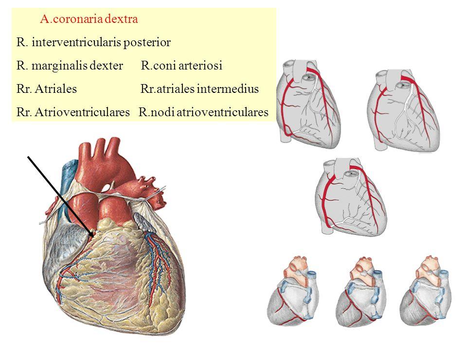 A.coronaria dextra R.interventricularis posterior R.