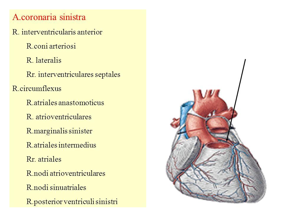 A.coronaria sinistra R.interventricularis anterior R.coni arteriosi R.