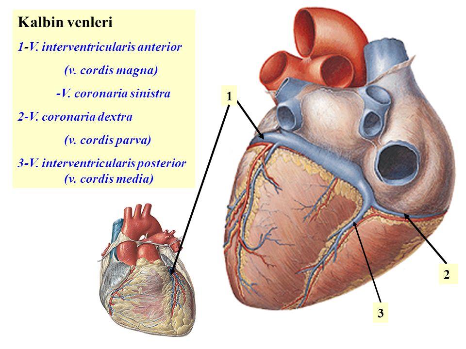 Kalbin venleri 1-V.interventricularis anterior (v.