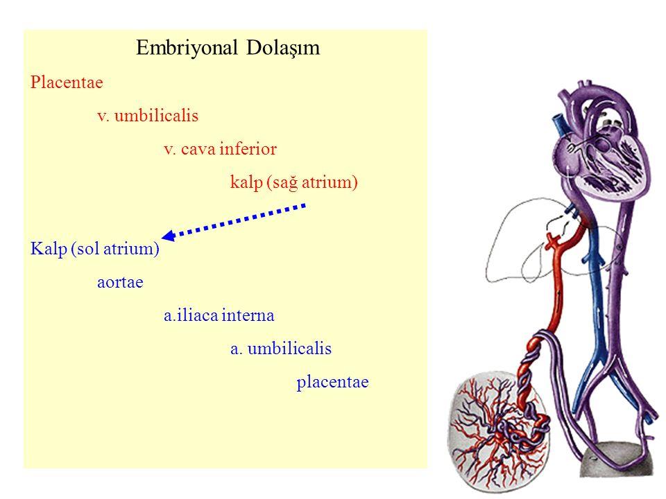 Embriyonal Dolaşım Placentae v.umbilicalis v.