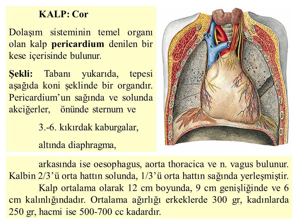 KALP: Cor Dolaşım sisteminin temel organı olan kalp pericardium denilen bir kese içerisinde bulunur.