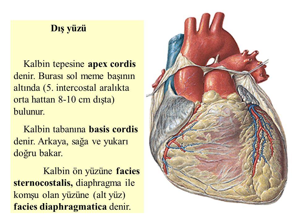 Dış yüzü Kalbin tepesine apex cordis denir.Burası sol meme başının altında (5.