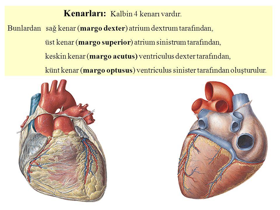 Kenarları: Kalbin 4 kenarı vardır.